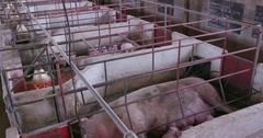 4K view of cute piglets and sows in an industrial large scale pig farm Stock Footage