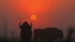 European Bisons on the background of Sunrise. Stock Footage