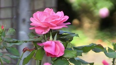 Two Pink Flowers Stock Footage