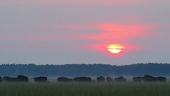 European Bison. Herd. Autumn sunrise. Stock Footage