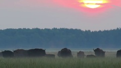 European Bison. Herd. Autumn sunrise. Stock Footage