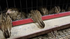 Quail peck feed from the trough Stock Footage