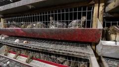Farm equipment for breeding quail Stock Footage