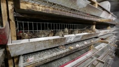 Equipment for breeding quail Stock Footage