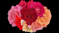Bouquet of opening colorful roses time-lapse in RGB + ALPHA matte format, top Stock Footage