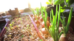 Onion grows in special boxes at home during winter. Stock Footage