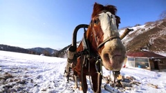 Close up view of the brown and white harnessed horse. Winter. Stock Footage