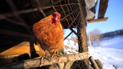 Closeup view of the domestic chicken walking along a perch. Stock Footage