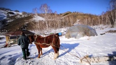 Horse is pulling a felled birch, helping its owner. Stock Footage