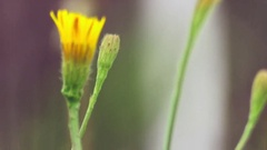 (Graded) Yellow Flower Bud Rack Focus To Flower Bud Stock Footage