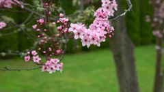 Japanese Cherry Blossom flowers blowing in the wind during early Spring Stock Footage