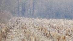 Beautiful roe deers - wildlife shot. Stock Footage