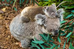 Australian koala bear native animal with baby Stock Photos