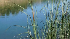 Detail of The tall Typha Latifolia grass on the field. Herbaceous plant before a Stock Footage
