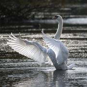 Graceful beautiful mute swan stretches it's wings on lake with sun behind Stock Photos