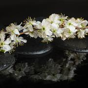 Beautiful Spa setting of zen stones, blooming twig of plum with reflection on Stock Photos