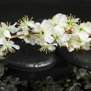 Beautiful Spa concept of zen stones, blooming twig plum with drops and reflec Stock Photos