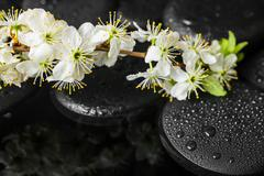 Beautiful Spa still life of zen stones with drops and blooming twig of plum w Stock Photos