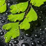 Spa concept of beautiful green branch of maidenhair and zen stones with drops Stock Photos