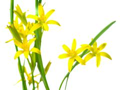 Gagea lutea (Yellow Star of Bethlehem) the first wild spring flower is isolat Stock Photos