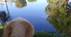 Dogs POV creek and ducks Stock Footage