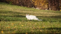 Maine Coon white cat in the wild Stock Footage