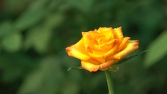 Orange Rose with Water Drops Closeup 4K Footage Stock Footage