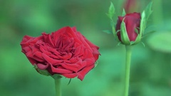Big Red Rose 4K Footage with Bokeh Effect Stock Footage
