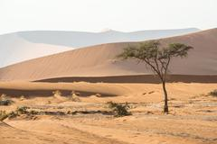 Close view of a lonely green tree and huge sand Namibian dunes Stock Photos