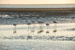 Group of pink and white flamingoes is moving along a coast Stock Photos