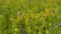 Field flower swinging in the wind Stock Footage