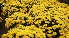 Camera slide over Chrysanthemum growing inside of greenhouse Stock Footage