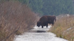 European Bison drinks water. Stock Footage