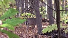 Whitetail buck deer on a cool fall  morning Stock Footage