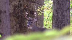 Whitetail buck deer looking for does cool fall morning Stock Footage