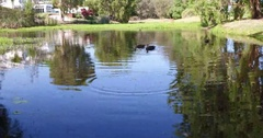 Ducks in a pond Stock Footage