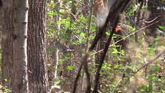 Large whitetail buck deer hiding in brush Stock Footage