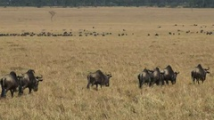 Wildebeest walking in masai mara game reserve on their annual migration Stock Footage