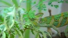 Chameleon is moving through the bushes Stock Footage