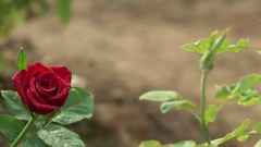 Most Beautiful Valentine Red Rose Flower with Water Drops Stock Footage
