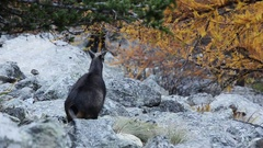 Chamois (Rupicapra rupicapra)  in fall Stock Footage