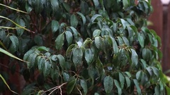 Rain falling on dark green leaves of Ficus benjamina, a soft breeze stirred the Stock Footage