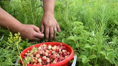 Gathering wild strawberry Stock Footage