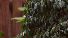 Rain falling on dark green leaves of Ficus benjamina, a strong wind stirred the Stock Footage