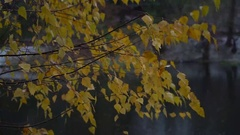 Pigmented yellow autumn birch leaves dangle in the wind. Stock Footage
