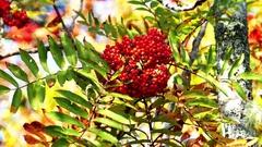 Wild rowan berries Stock Footage