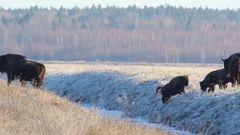 European Bison crosses the winter creek. Stock Footage