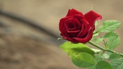 Red Rose 4K Footage with Water Drops Stock Footage