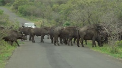 African stock video of herd of buffalo crossing road Stock Footage
