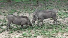 African stock video of wild warthogs grazing and playing Stock Footage